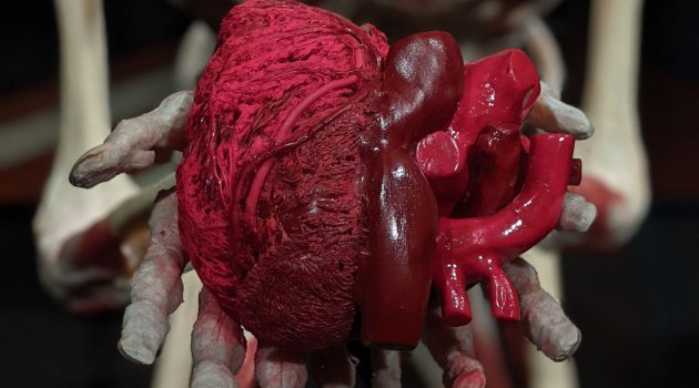 Steroids and heart structure and function